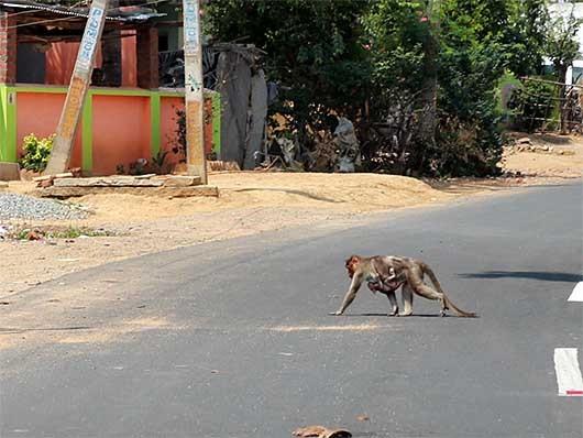 道路を横断する猿の母子