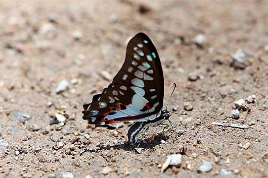 バンガロール 蝶  産卵?