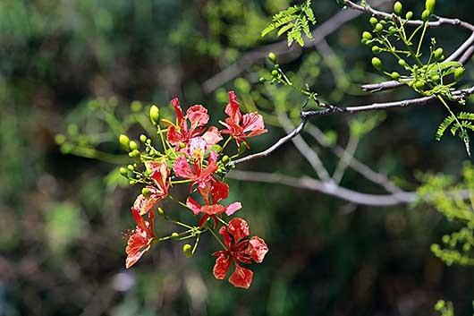 バンガロール 鳳凰木